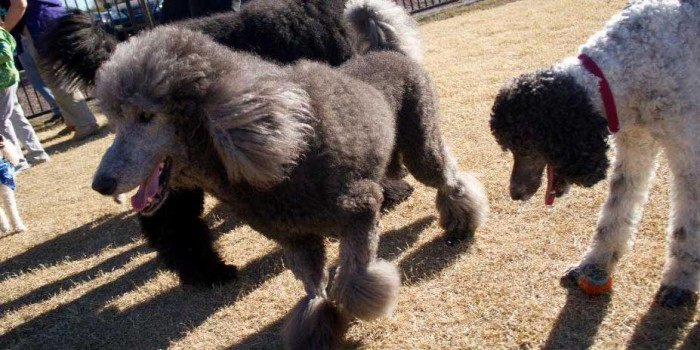 Arizona Poodle Rescue – Saving Standards and Standard Poodle