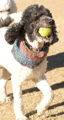 Poodle Playing Ball