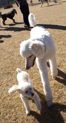 Poodles Playing